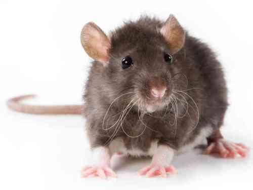 rat-987c78e8f6d5124306d52a0a978ad8853a9d8988-s6-c30