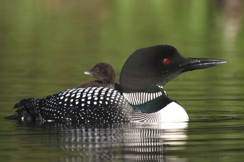 6-15-12-common-loon-and-chick-img_4162