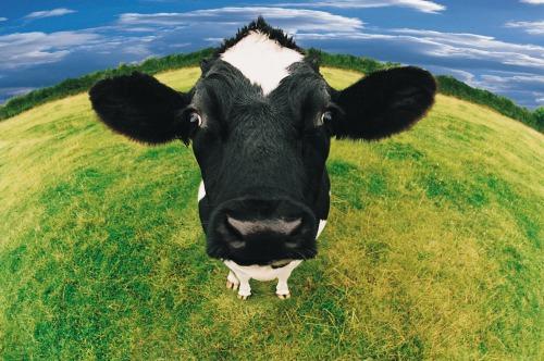 fish eye shot of cow455010
