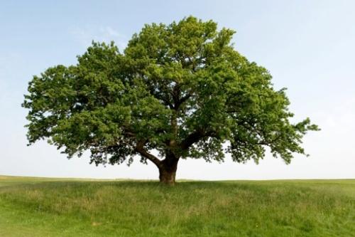 oak tree wisdom